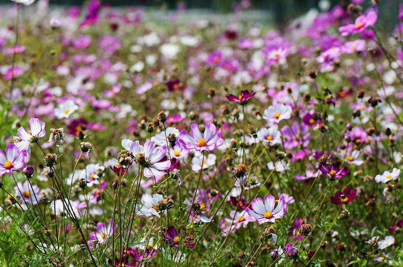 Field of Cosmos Flowers, near Maolin, Taiwan